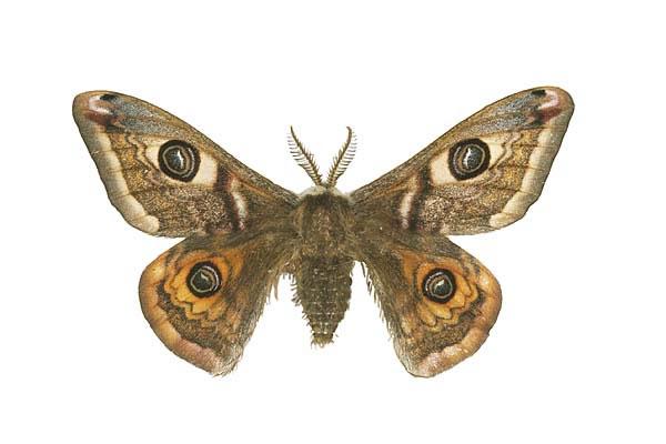Emperor Moth (Male)_jpg